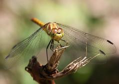 bokeh - dragon (bugman11) Tags: macro nature animal animals fauna canon bug insect wings dragonflies dragonfly nederland thenetherlands insects bugs 1001nights flickraward platinumheartaward 100mm28lmacro 1001nightsmagiccity mygearandmepremium mygearandmebronze