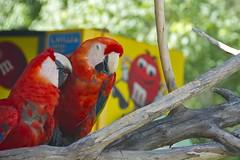 red birds candy macaw gatorland