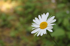 Simplicity (Aaron's Waterfall World) Tags: white flower nature outdoors washington scenery hiking daisy bellingham wildflower whatcom