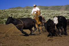 The Chase (Cristian R-L) Tags: horses cowboys spurs cows nevada hats ruralnevada cowgirl reno roping redrockvalley canonxsi
