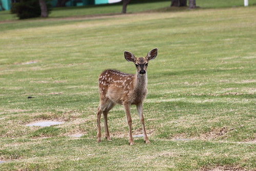 fawn in the cemetery 3
