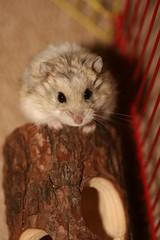 Russian Dwarf Hamster (Pumpkin muncher) Tags: pet cute feet fur nose eyes furry dwarf ears twitch hamster russian
