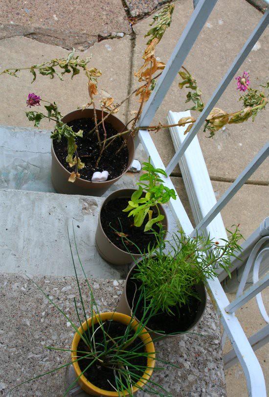 poor dying herbs/flowers