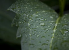 Wet leaf (christianvt) Tags: wet leaf christian van tilborg