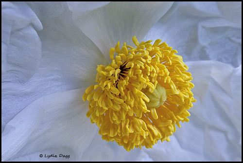POPPIES, GIANT WHITE (PAPAVER) - 38