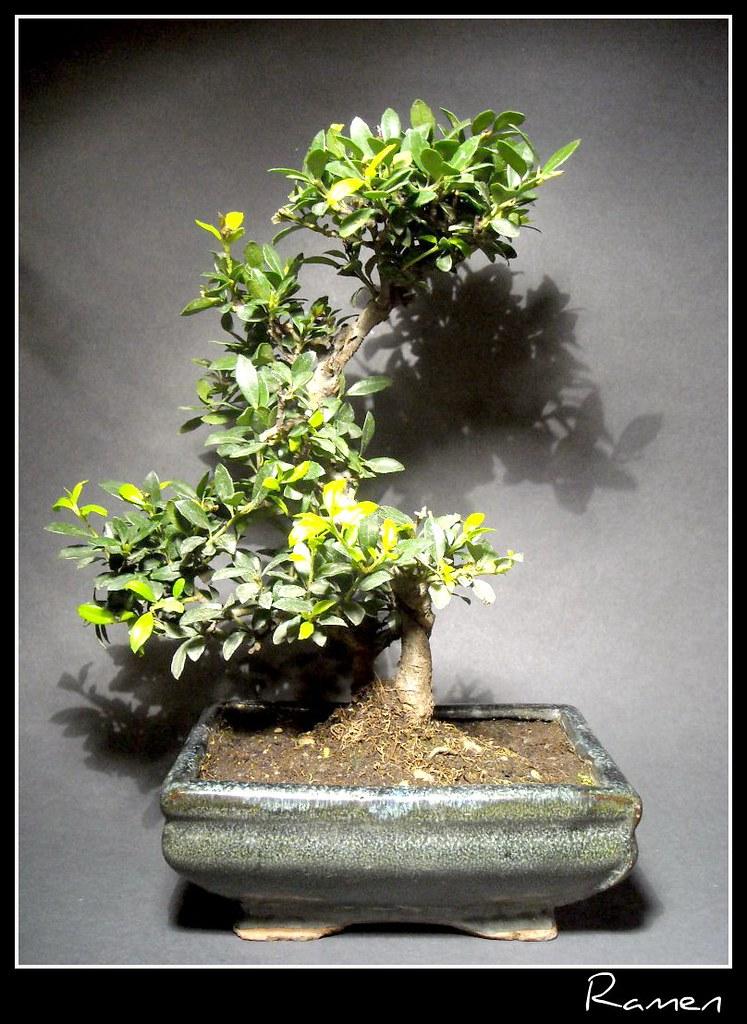 Ilex bonsai fa