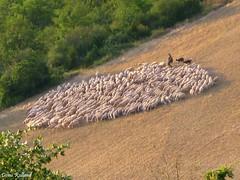 Les Bergers (Domi Rolland ) Tags: france nature europe bordercollie roquefort moutons millau aveyron brebis midipyrnes troupeau naturemasterclass soulobres