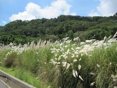 Silver Grass (Miaoli County Road 140)