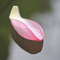 Fallen Petal on the Lotus Pond (Apricot Cafe) Tags: pink white flower japan tokyo yakushiikepark platinumheartaward lotus nelumbonucifera canonef100mmf28lmacroisusm