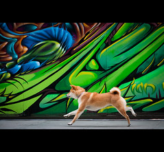 Jungle - 30/52 (kaoni701) Tags: sf sanfrancisco red portrait streetart cute face project puppy japanese graffiti nikon action running tokina fox suki shibainu financial 535 atx shibaken  week30 50135 d300s 52weeksfordogs jonathanfleming