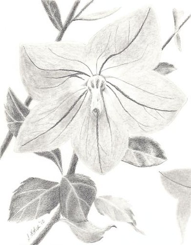 Balloon Flower, graphite