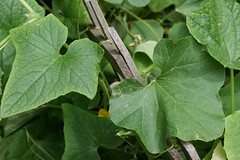 cuke and melon leaves