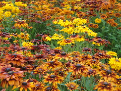Rudbeckias at Joy Creek Nursery