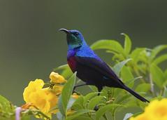 Red-chested Sunbird (Greg Miles) Tags: africa uganda queenelizabethnationalpark redchestedsunbird cinnyriserythrocerca cinnyriserythrocercus