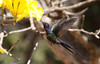 S rie com o Beija flor Tesoura  Eupetomena macroura  e o Ip  amarelo  Tabebuia  chrysotricha or ochracea     Series with the Swallow tailed Hummingbird and the Ip   Poui  trumpet tree or Pau D arco   01 08 2010   IMG 5632