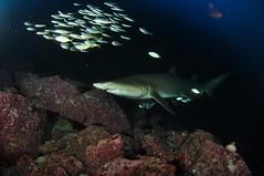 SWRAUG2010 005 (Custom) (AussieByron) Tags: fish rock southwestrocks swr gns greynurseshark tokina1017mm nikond90 aquaticahousing wwwsouthwestrocksdivecentrecomau