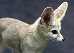 Fennec fox (floridapfe) Tags: animal zoo nikon desert korea fox  fennecfox