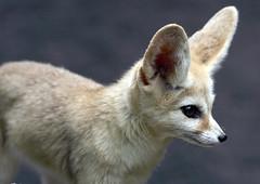 Fennec fox (floridapfe) Tags: animal zoo nikon desert korea fox 에버랜드 fennecfox