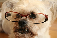 31/52 The Intellectual Dog (Tiny Haus) Tags: dog guy glasses mutt zennioptical