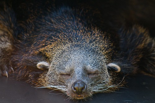 Best let sleeping binturongs lie! by Larry Johnson, on Flickr