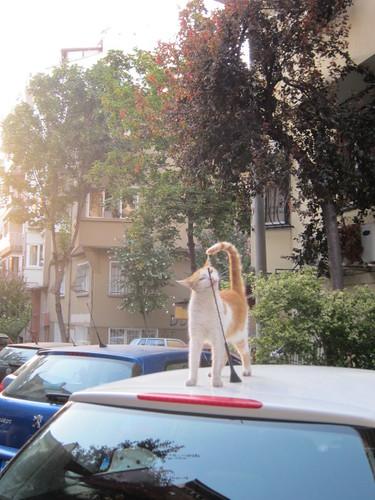 turkish kitty - antenna kitty