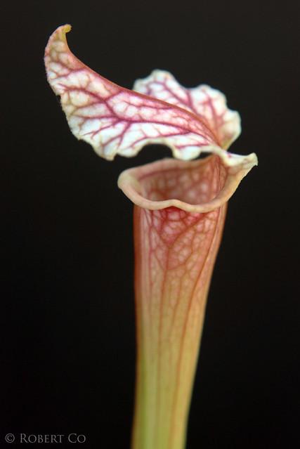 "S. 'Reptilian Rose' x leucophylla ""Pale"""