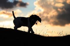 Jess at Sunset (chrisgandy2001) Tags: dog cute english puppy spaniel springer springerspaniel doggy pup liver puppydog englishspringerspaniel englishspringer englishspaniel liverandwhite colorphotoaward