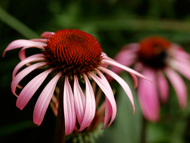 Close-up image of a pink Echinacea purpurea flower against a dark green background