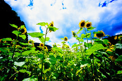 endless summer (moaan) Tags: life leica summer sky sun flower field clouds flora midsummer voigtlander august f45 sunflower utata flowering 15mm leicam7 2010 m7 underthesun superwideheliar fujivelvia100 rvp100 inlife voigtlanderheliar15mmf45 fieldofsunflower gettyimagesjapanq1 gettyimagesjapanq2