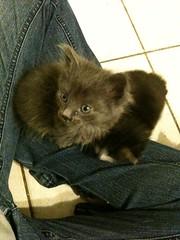 Little Puffballs (JewelsLB) Tags: cats kittens felines cutenessoverload kittehs