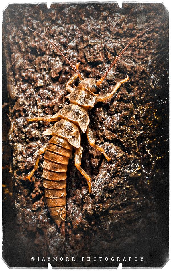 Utah Salmonfly