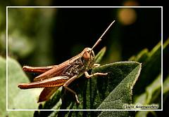 Da qui non mi muovo (VanMario) Tags: macro canon eos natura erba collina insetti 500d massaciuccoli cavallette overtheexcellence vanmario