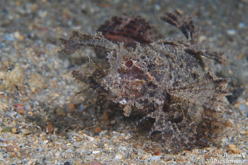 安汶天蠍魚2號(2)