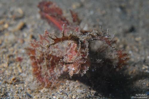 安汶天蠍魚1號 - 低調紅