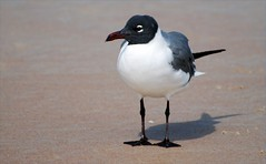 Bird - Seagull - Laughing Gull (blmiers2) Tags: sea bird nature beautiful birds geotagged nikon florida wildlife seagull gull faves daytonabeach daytona avian larusatricilla laughinggull laridae charadriiformes birdphoto nikond40x d40x avianwildlife daytonabeachbirds blm18 blmiers2