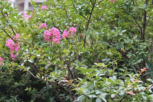 息子撮影庭の花。上手いなぁ。