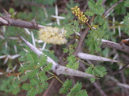 Acacia horrida image