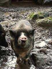 Pig in Mud (KJGarbutt) Tags: new travel newzealand travelling animals photography zoo pig mud sony cybershot zealand nz traveling kiwi kurtis sonycybershot australasia oceania aroundtheworld garbutt kjgarbutt kurtisgarbutt kurtisjgarbutt kjgarbuttphotography