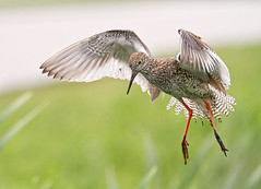Flight of the Redshank (Andrew H Wildlife Images) Tags: bird nature wings wildlife norfolk flight feathers nwt redshank wader cleymarsh canon7d ajh2008