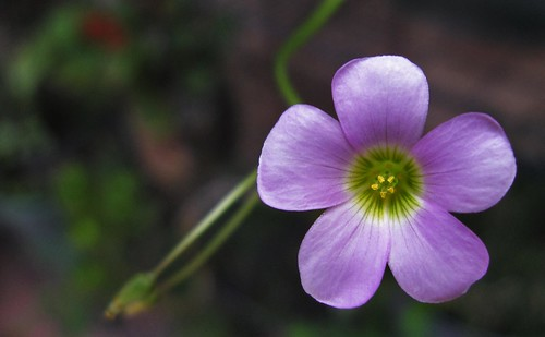 "Flor de trebol • <a style=""font-size:0.8em;"" href=""http://www.flickr.com/photos/30735181@N00/4906151658/"" target=""_blank"">View on Flickr</a>"