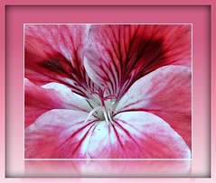 Blushing (52joan~trying to catch up!) Tags: pink macro petals flickr details stamen flowerotica