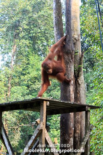 orang utan appear
