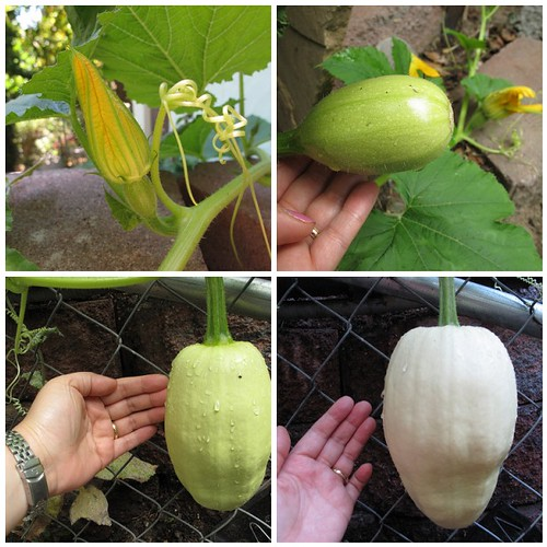 mystery volunteer squash: watch it grow!