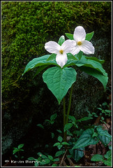 Large-flowered Trillium (Kevin B Photo) Tags: flowers wild usa white plant mountains flower color green nature beautiful beauty rock vertical america forest photography nc colorful day exterior unitedstates graphic natural native tennessee south northcarolina calm southern national carolina daytime wildflowers springtime serenitynow kevinbarry grandiflorum largefloweredtrillium