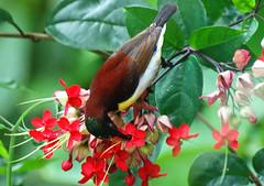 Happy ONAM !!! (GOPAN G. NAIR [ GOPS Photography ]) Tags: birds photography hummingbird onam gops gopan gopsorg gopangnair
