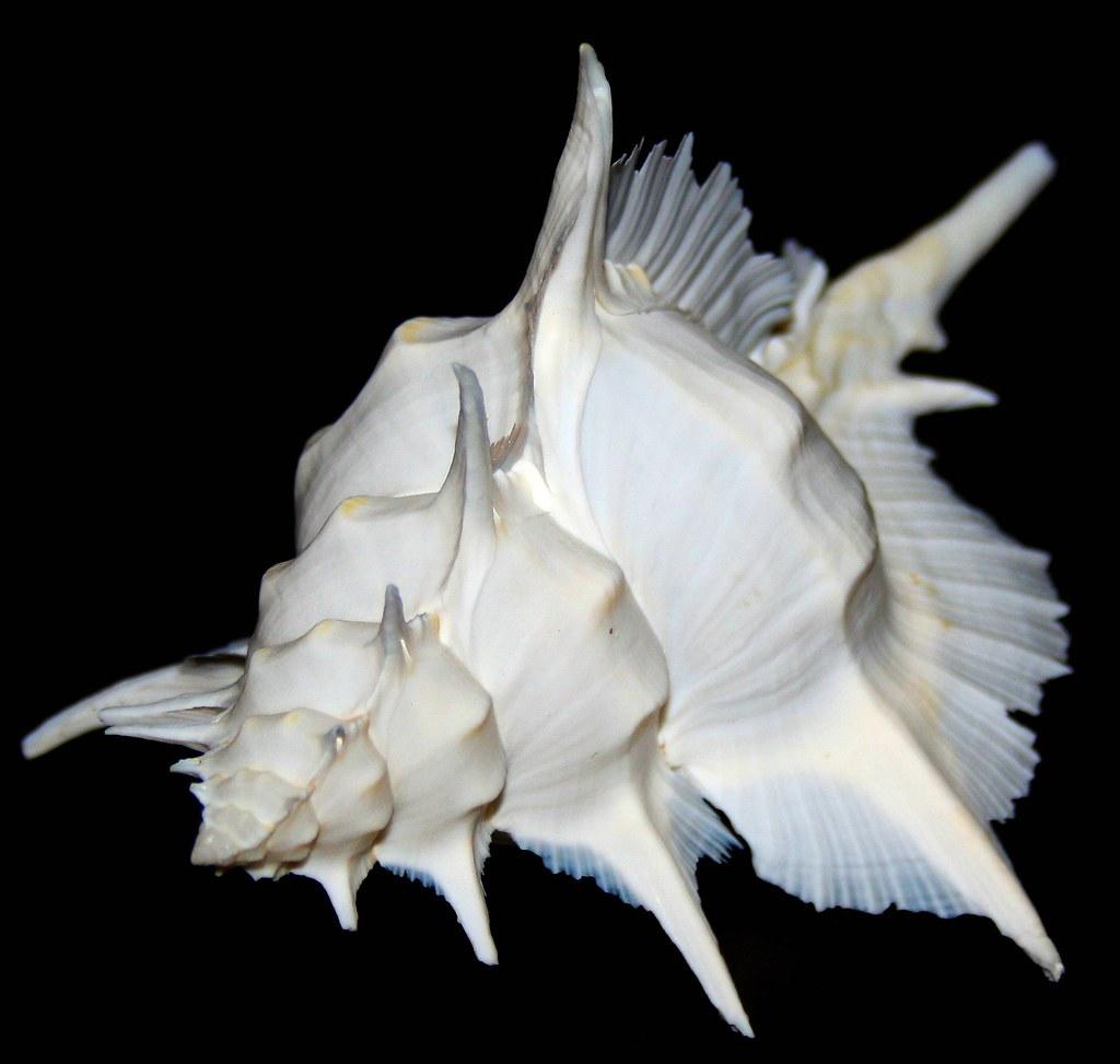 Alabaster shell - Siratus alabaster