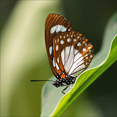 Forest Queen Butterfly (Foto Martien (thanks for over 2.000.000 views)) Tags: flower colour macro beautiful closeup butterfly insect wings colorfull ngc papillon tropical bloom honfleur mariposa coloured normandy schmetterling vlinder kleurrijk bloem macrophoto flowergarden butterflyhouse kleuren polychrome normandi butterflygarden bont tropisch veelkleurig macrofoto vlindertuin kleurig macroopname naturospace vlinderhuis a550 jardindespapillons forestqueen southeasternafrica martienuiterweerd martienarnhem minoltamacro100mm28 sonyalpha550 fotomartien jardindunaturospace serretropicalepapillons overdektebloementuin oostelijkenzuidoostelijkafrika
