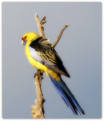 Yellow Rosella (Dozzam:)) Tags: wood tree bird nature yellow colours australian feathers victoria nsw grip rosella claws 100commentgroup