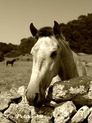 Mr Equidae (Meritxell Garcia) Tags: horse animal forest caballo spain rocks campo menorca piedras hocico relinchar caballoblancosepia