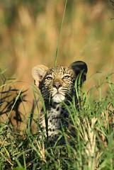 Kikelezi leopard cub (dean.wraith68) Tags: africa fauna canon southafrica wildlife safari big5 malamala specanimal animalkingdomelite gamereserves